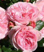 Rose Garden, Mariatheresia-CA