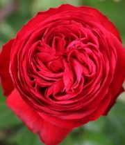 Rose Garden, Matador-CA