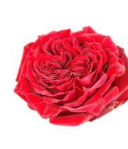 Rose Garden, Mayra's Red-SA