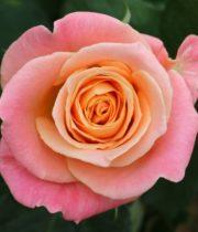 Rose, Miss Piggy-CA