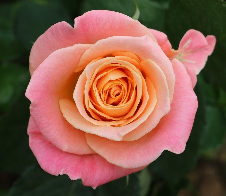 Miss Piggy Rose