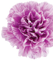 Carnations, Moonburst-lavender/white
