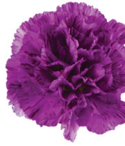 Carnations, Moonstrike-purple Striped