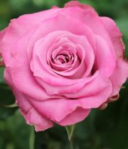 Rose, Mystic Lilac-CA