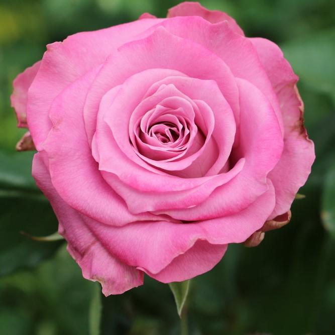 Mystic Lilac Rose