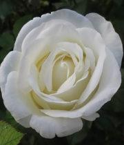 Rose Garden, Norma Jeane-CA