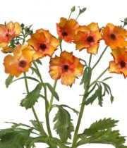 Ranunculus, Butterfly-orange