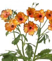 Ranunculus, Butterfly-orange