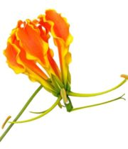 Gloriosa Lily, Tall-orange (import)