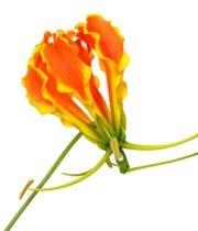 Gloriosa Lily, Tall-orange (import)