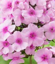 Phlox-pink