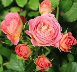 PINK PARASOL spray rose