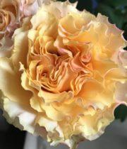 Rose Garden, Peach Campanella-CA