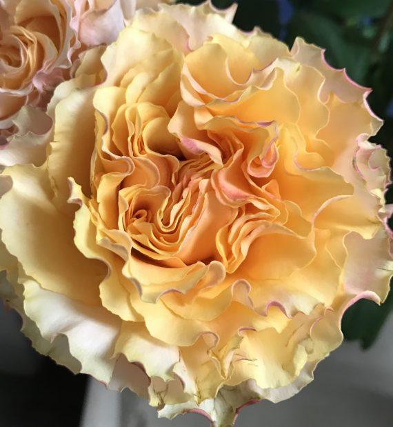 Peach Campanella Rose