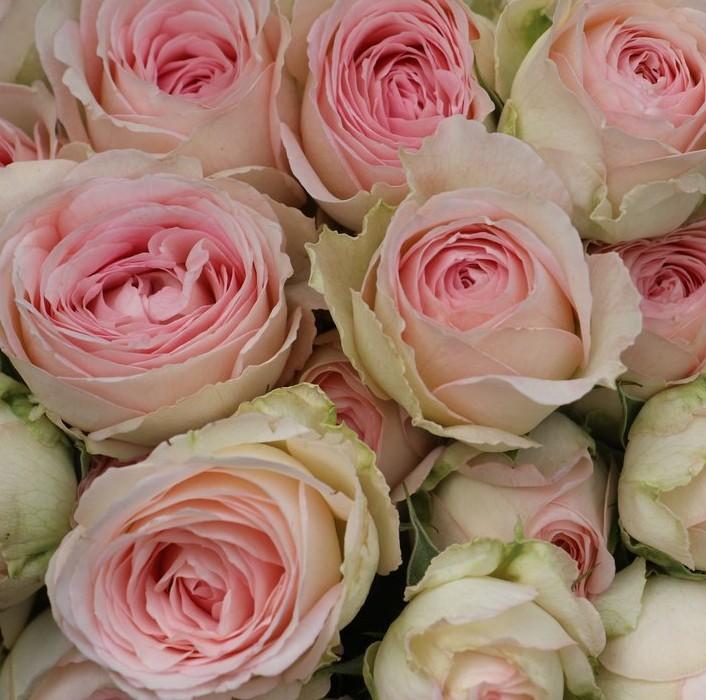 Porcelain Lace Rose