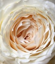 Rose Garden, Princess Miyuki-SA