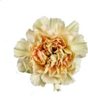 Carnations, Specialty-Putumayo-beige Bicolor