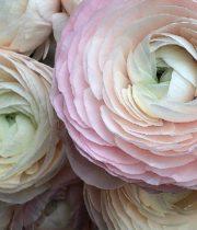 Ranunculus, Cloni Hanoi-blush