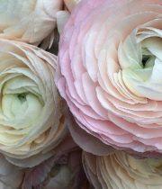 Ranunculus, Cloni Hanoi Blush