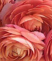 Wholesale Flowers | Ranunculus Tecate Peach