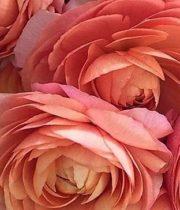 Ranunculus, Tecate-peach