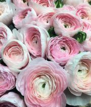 Ranunculus, Cloni-pink
