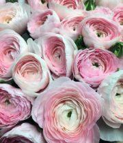 Ranunculus, Clooney-pink