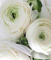 Ranunculus, Cloni-white