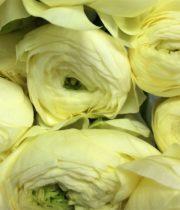 Ranunculus, Elegance-cream