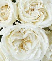 Rose Garden, Jeanne Moreau-CA