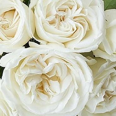 wholesale flowers | garden rose jeanne