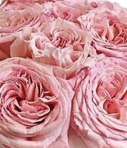 Rose Garden, Pink O'Hara-SA