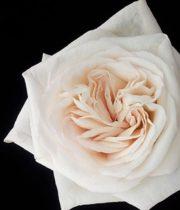 Rose Garden, White O'Hara-SA