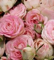 Rose Spray, Blushing Bride-CA