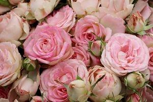 Blushing+Bride-PINK-SPRAY-ROSE_