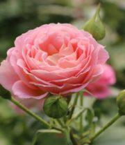 Rose Spray, Blushing Parasol-CA