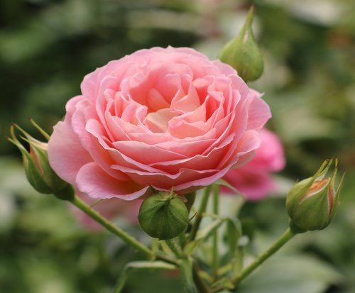 BLUSHING-PARASOL-PEACH-PINK-SPRAY-ROSE