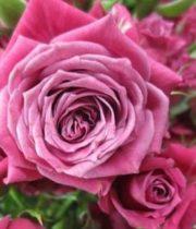 Rose Spray, Denim Star-CA