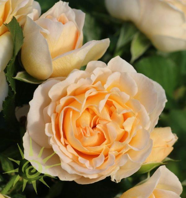 JULIANNE-SPRAY-ROSE