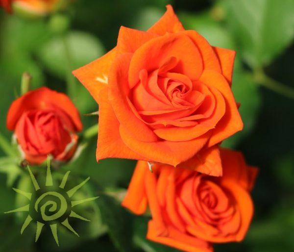 JAZZABELL-ORANGE-SPRAY-ROSE