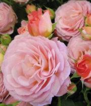 Rose Spray, Pink Parasol-CA