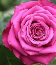 Rose, Precious Moments-CA