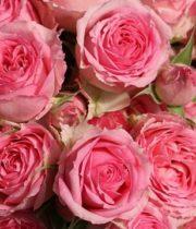 Rose Garden Spray, Pink Sapphire Gem-CA