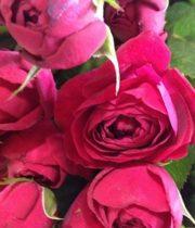 Rose Garden Spray, Ruby Gem-CA