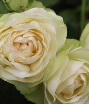 Rose Garden Spray, Vanilla Lace-CA