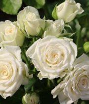 Rose Spray, White Lady-CA