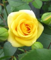 Rose Spray, Yellow Babe-CA