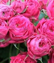 Rose Garden Spray, Bright As A Button-CA