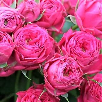 wholesale flowers | garden spray rose bright button