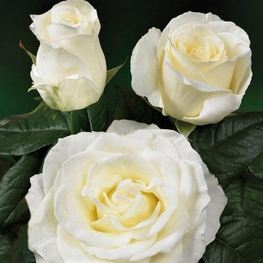 wholesale flowers | garden rose norma jean